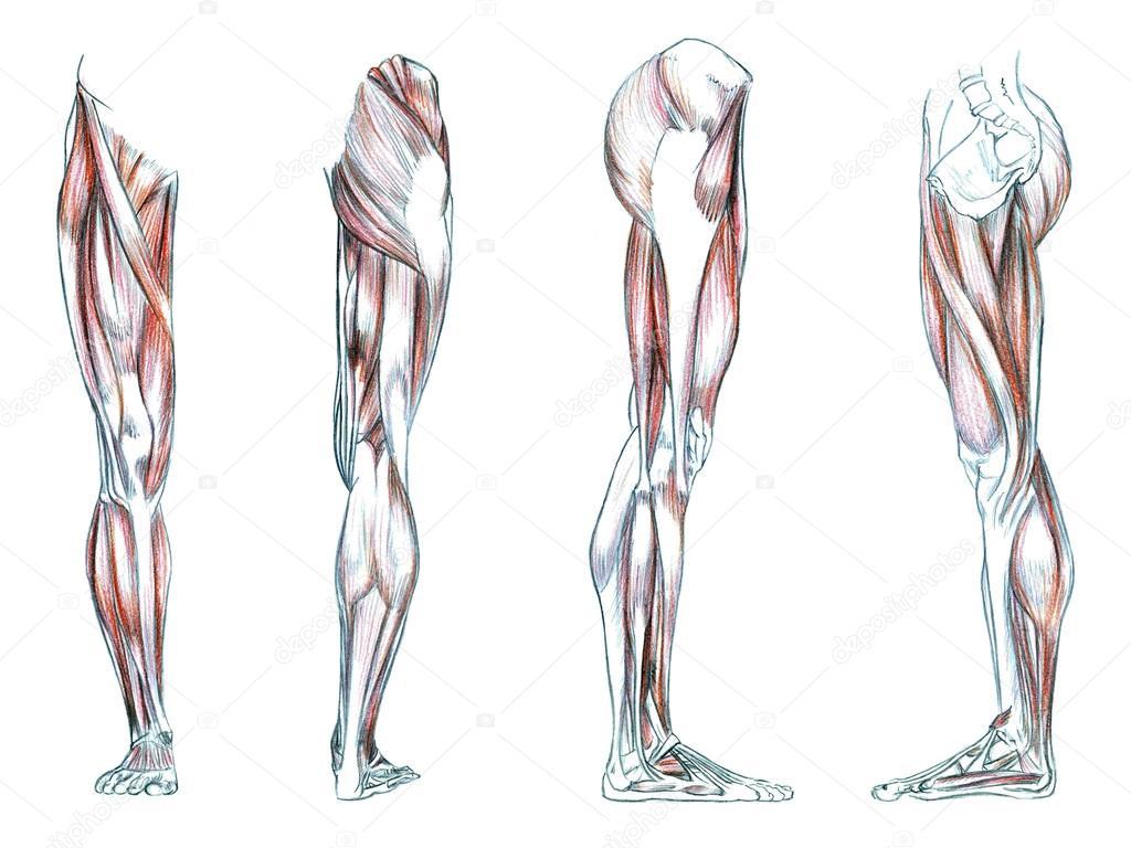 Muskeln des Beines — Stockfoto © PSArtDesignStudio #123525364