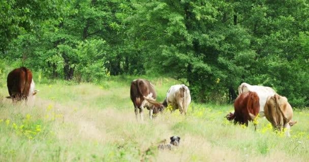 Krávy pasoucí se na zelené louce v létě 4k