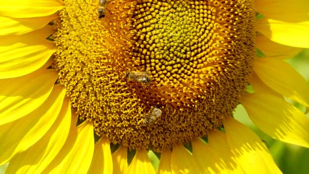 včela shromažďuje pyl v slunečnice