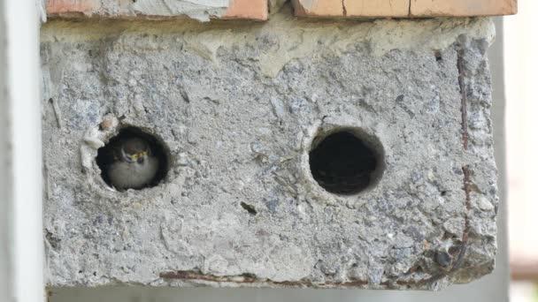 Babysperlinge im Nest