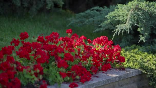 Bed Of Red Flowers In The Garden Stock Video Andrew282 117132828