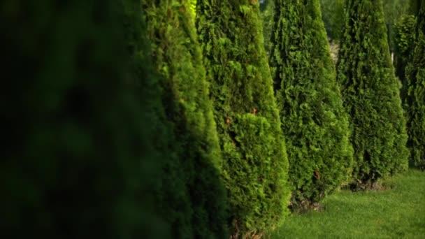 white cedars. thuya in garden.