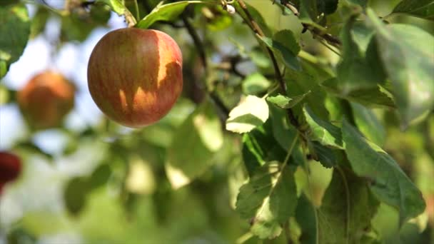 Organic red apple on branch, fruit on orchard ready for picking