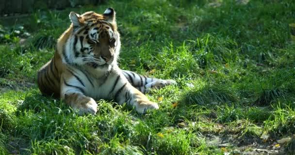Alszik tigris a zöld fű