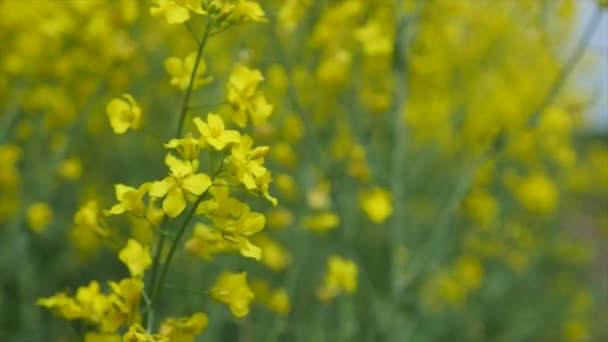 žluté květiny - pozadí s květy