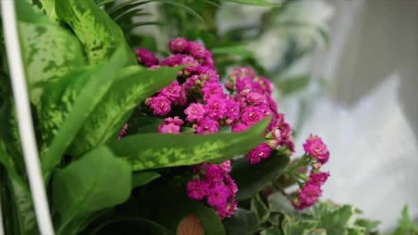 Purple chive flowers in full bloom.