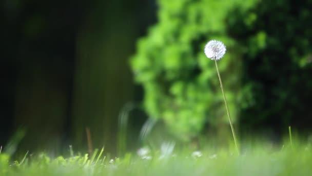 Foukané Pampeliška na zelený backgrond