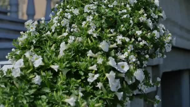 Bílý květ Petúnie bush nedaleko domu