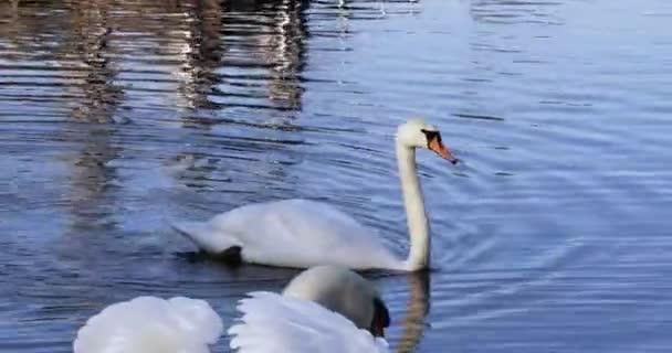 Ein weißer Schwan schwebt langsam von links nach rechts und geht an einem weiteren Schwan und einem kleinen Blässhuhn vorbei - ein schöner Kontrast zwischen sonnenbeschienenen Tieren und Steinen vom Ufer zum blauen Wasser