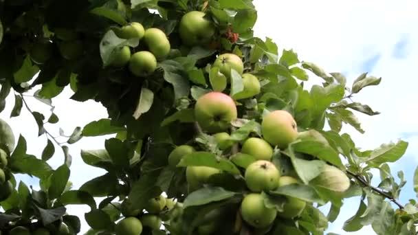 Ripe fruits on apple tree.