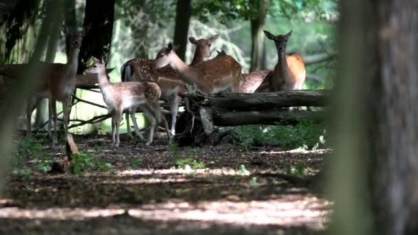 Rodinná skupina divoké bílé strakaté osy jelena podívat na kameru za déšť