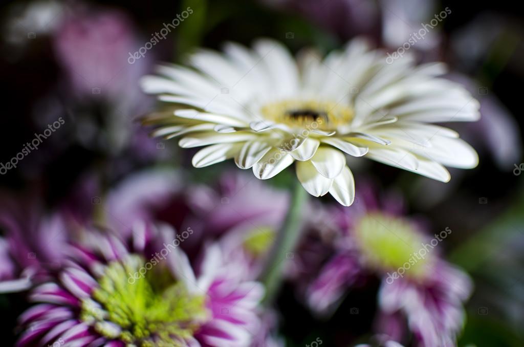 Crazy Daisy flower shot — Photo by ...