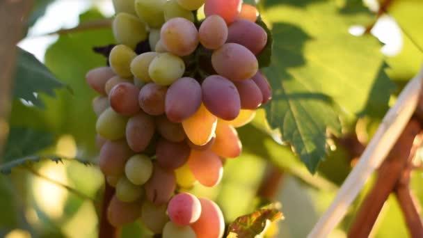 Egy csomó szőlő az udvaron, a szüret fogalma, szőlő, egészséges ökológiai összetevők