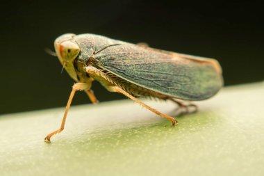Photos macro cicada green.