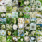 Collage with many images of different white flowers. Full size.