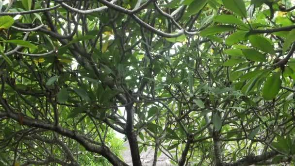Green leaves and tree branches plumeria