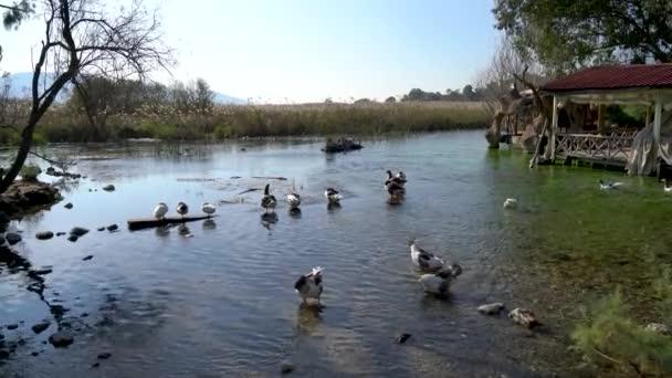 Türkiye 'nin Mugla köyünün Akyaka köyünde Azmak nehrinde yüzen ördekler