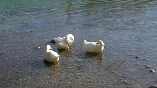Türkiye 'nin Mugla Köyü' ndeki Azmak Nehri 'ndeki ördekler