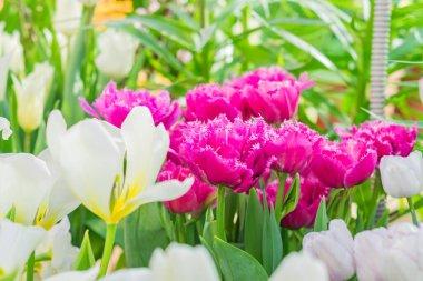 """Картина, постер, плакат, фотообои """"поле цветущих разноцветных тюльпанов, весенние цветы в саду постеры фотографии арт"""", артикул 441499182"""
