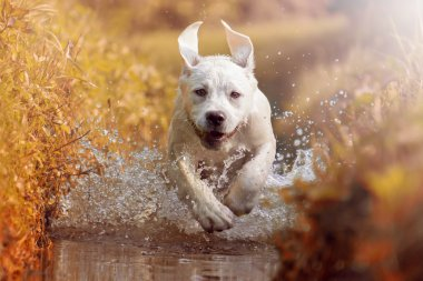 Young labrador dog puppy running through river in sun