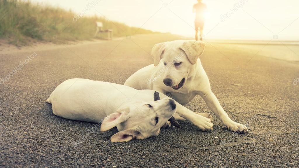 two cute labrador dog puppies play together while sunset