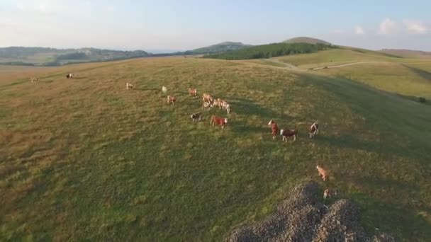 Cows and bulls on hill with beautiful landscapes in the background and sun glare