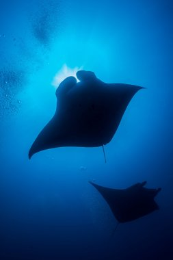 A manta ray taken from bellow