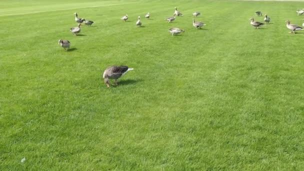 Gänse auf grünem Gras
