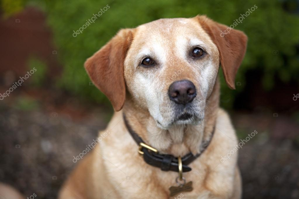 Pet Golden Labrador