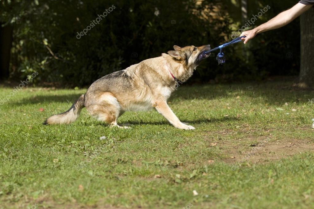 Big dog tugging on a rope playing and having fun tug of war with his owner