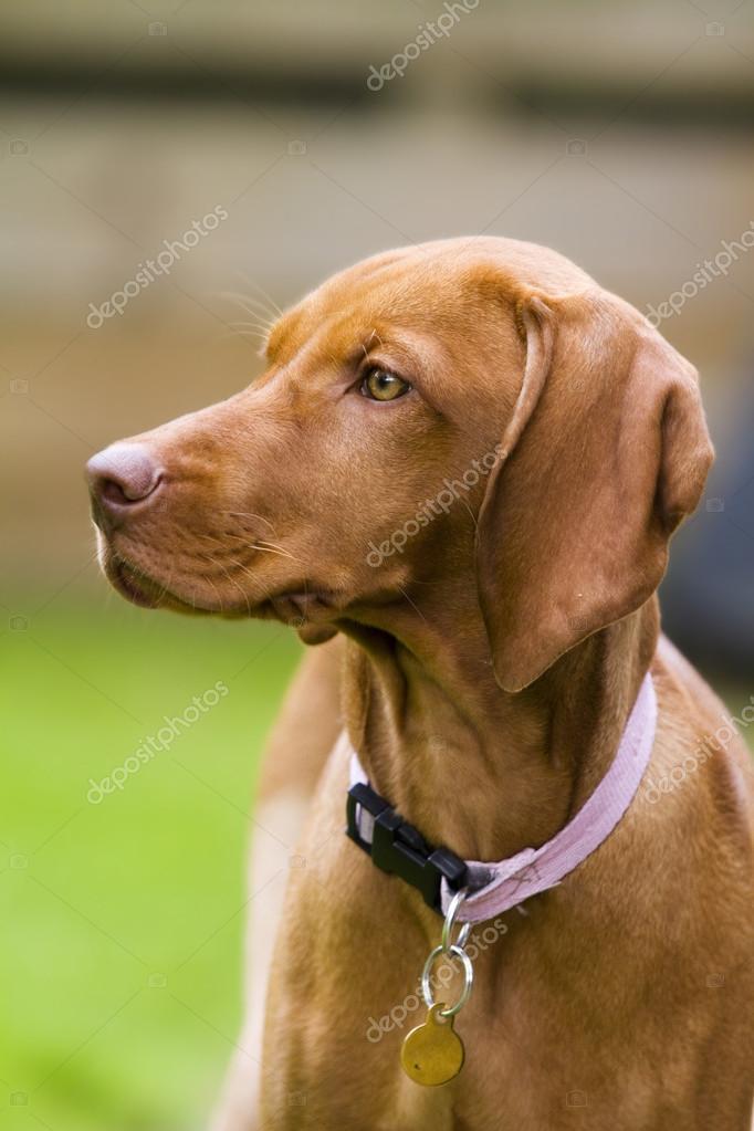 Vertical shot of Hungarian Vizsla dog