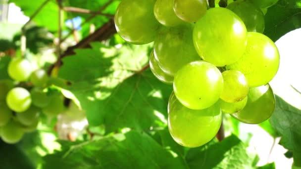 szőlőfürt, a nap.