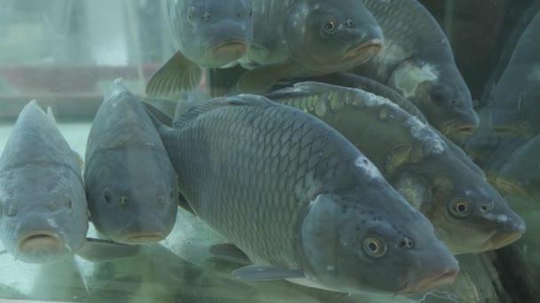 A pontyok az akváriumban úsznak a szupermarketben. Lassú