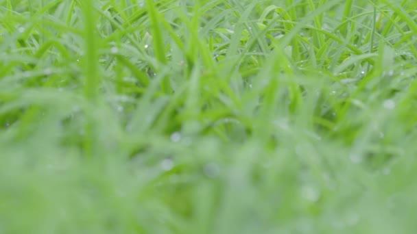 Rosa na zelené trávě v parku