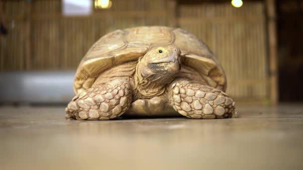 Nagy öreg teknős közelről