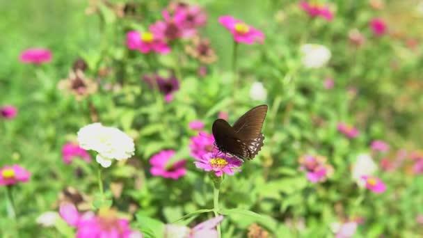 Fekete pillangó repül el a lila virág etetés után.