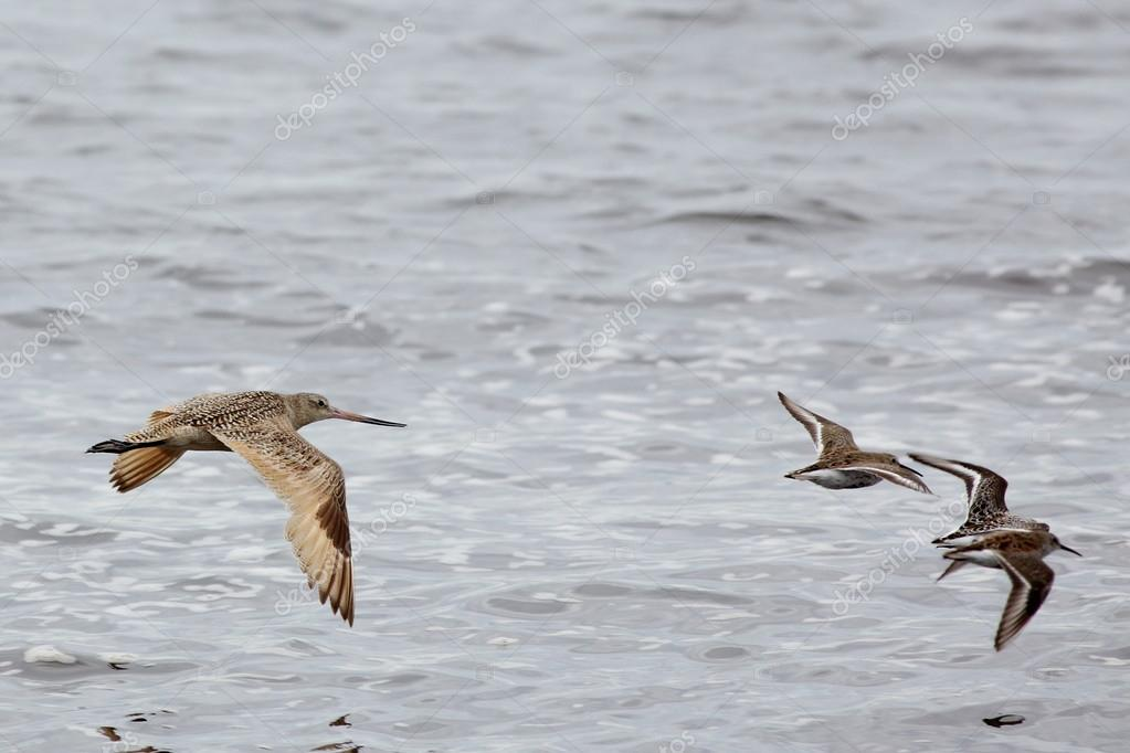 Marbled Godwit flying with other shorebirds