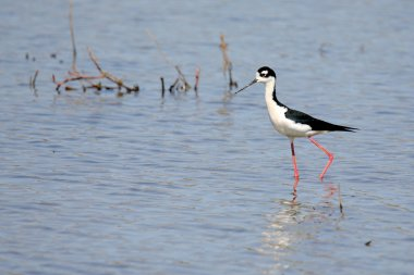 Black-necked stilt walking in shallow water