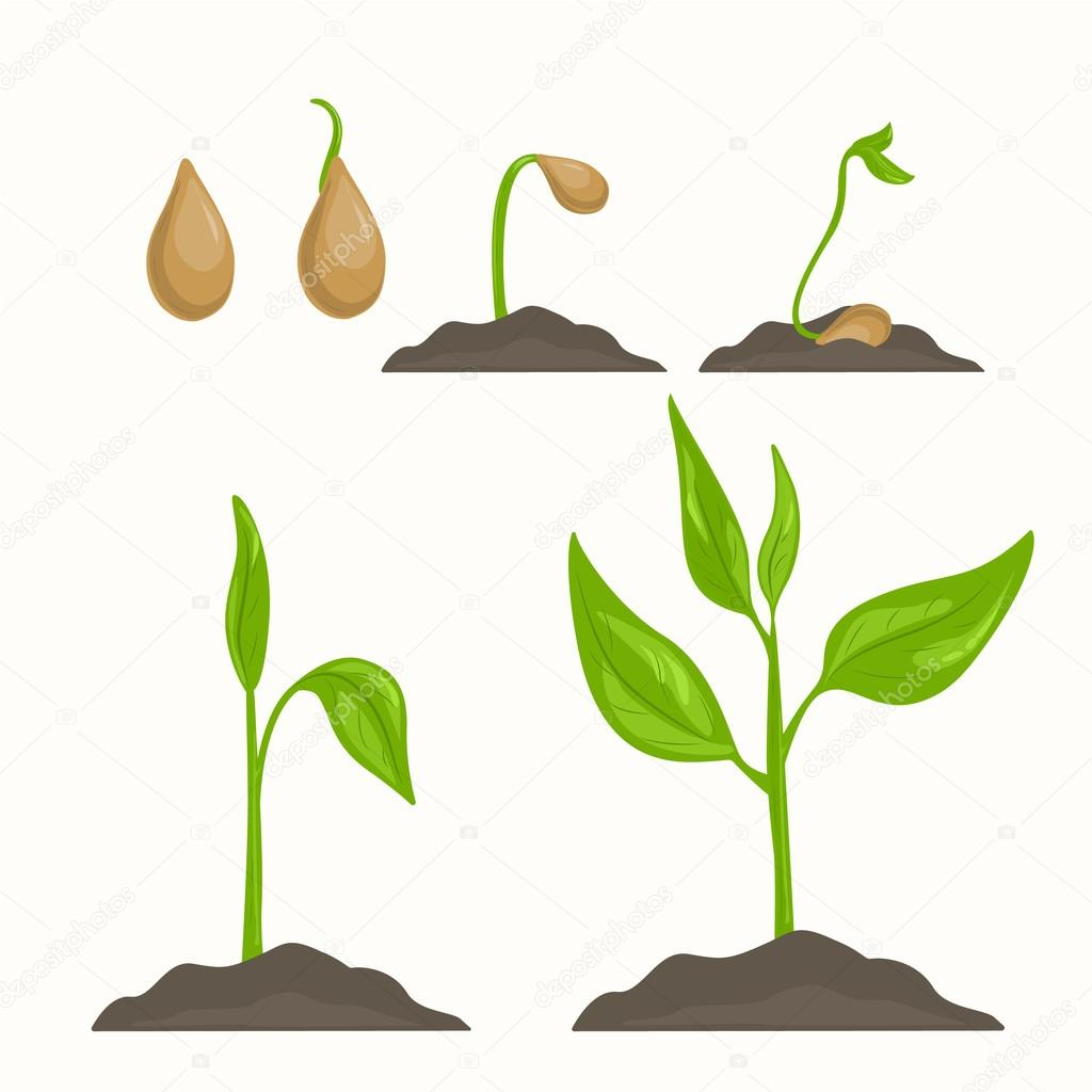 Plant evolution life cycle growth phases