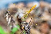 Detailní makro dragonfly drží na větvi stromu