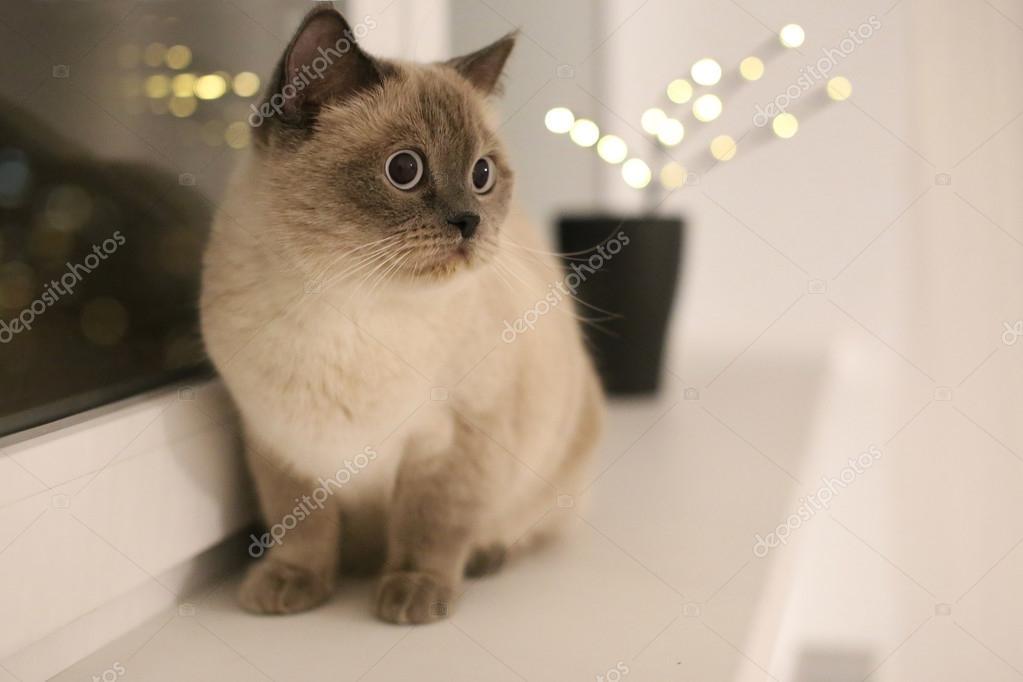 Britse blauw-punt kat zitten op de vensterbank met feestelijke ...