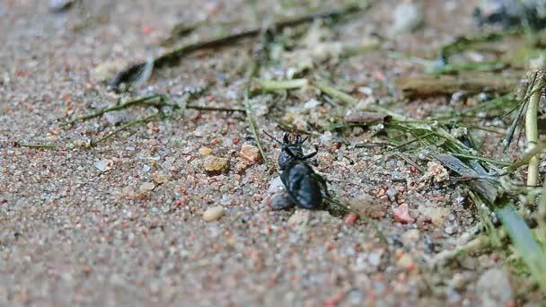 Černý brouk ležící na zádech a nemůže dostat na písku pozadí