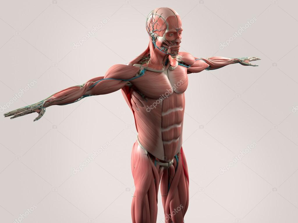 Human anatomy showing face, head, shoulders and torso muscular ...