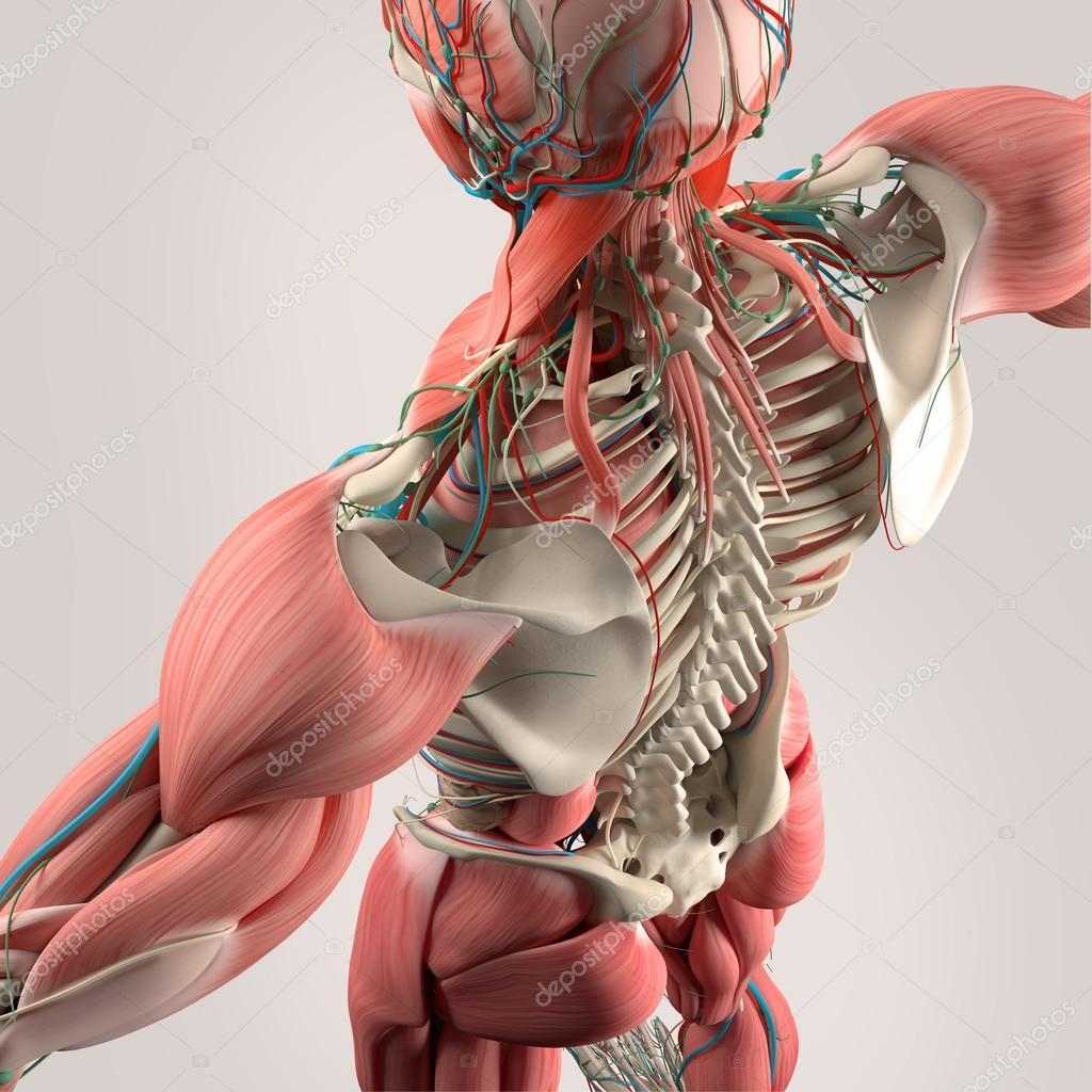 Human Anatomy Backtorso Skeletonmuscle High Angle Stockfoto
