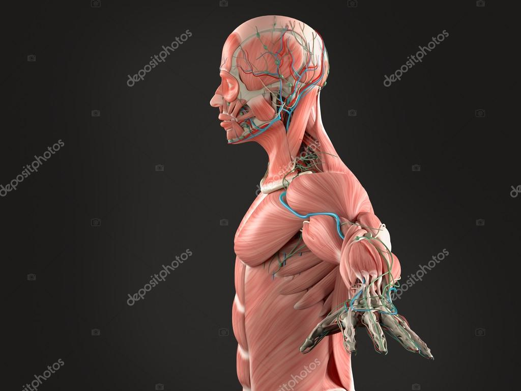 Human anatomy side view of head showing muscular and vascular system ...