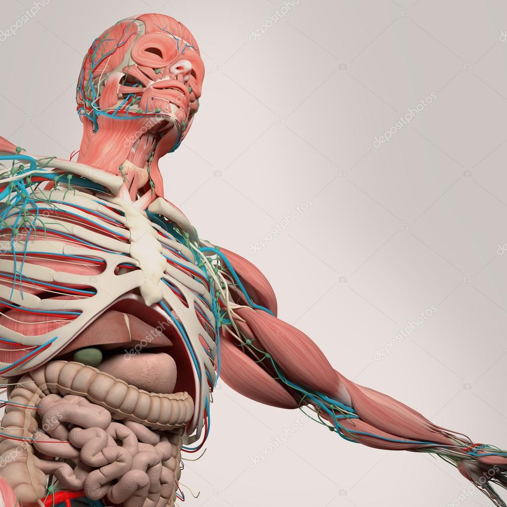 Human Anatomychesttorsointestines From Low Angle On Light Torso Anatomy Diagram Studio