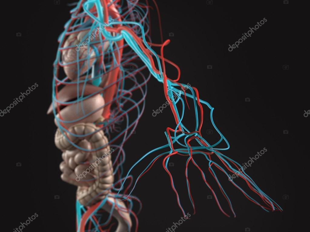 Human Anatomy Side View Of Abdomen Organs Arteries Arm And Hand