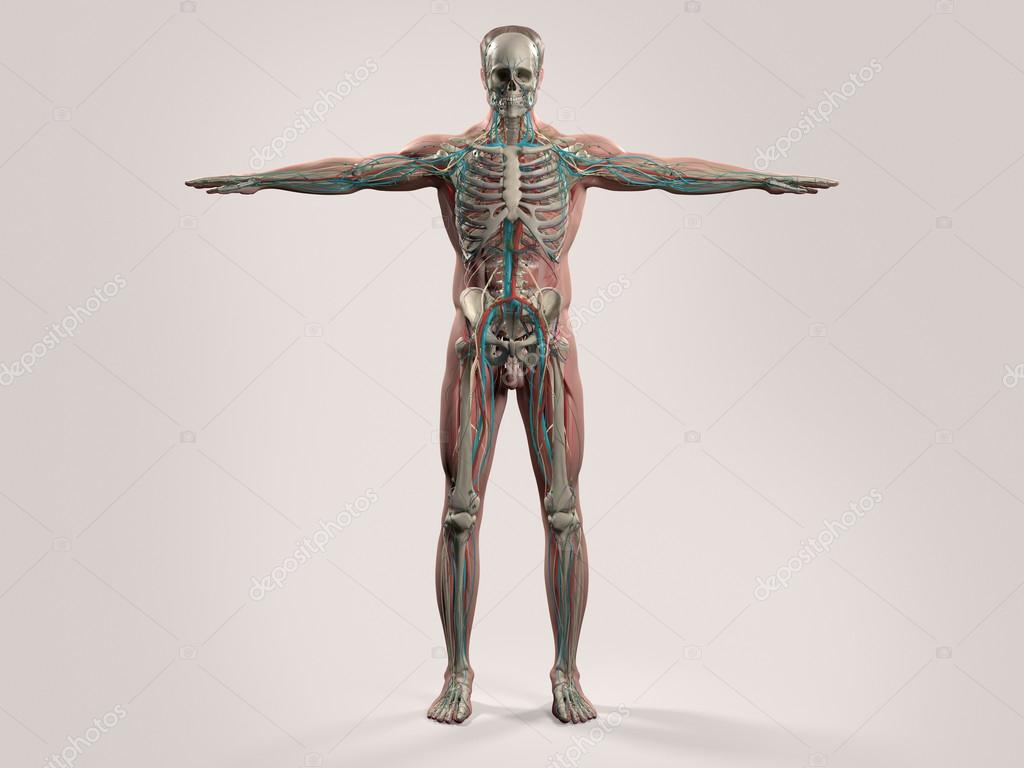 Human anatomy with front view of full body showing skeletal system ...