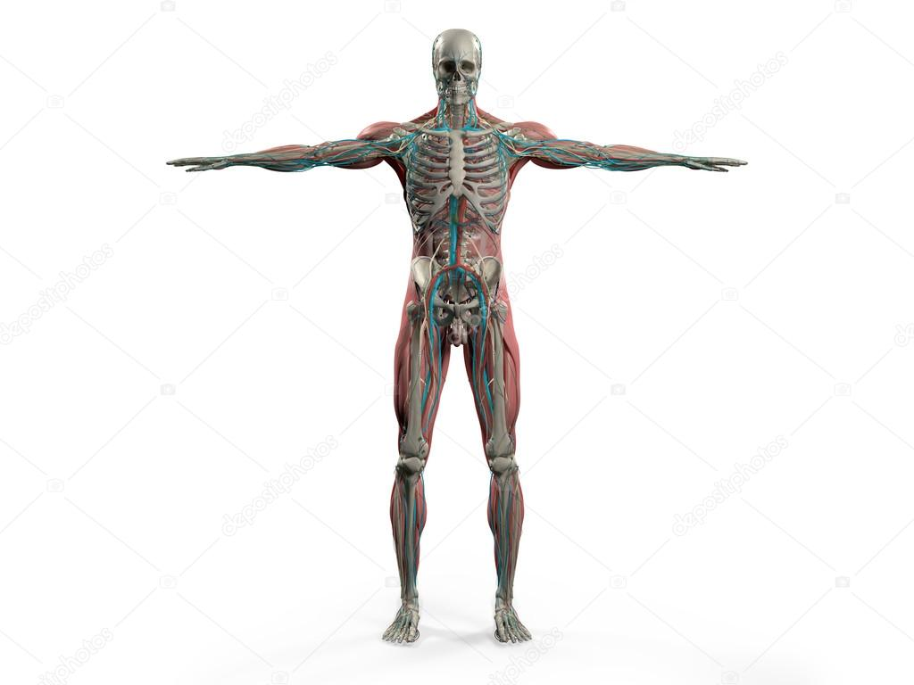 Human Anatomy With Front View Of Full Body Showing Skeletal System