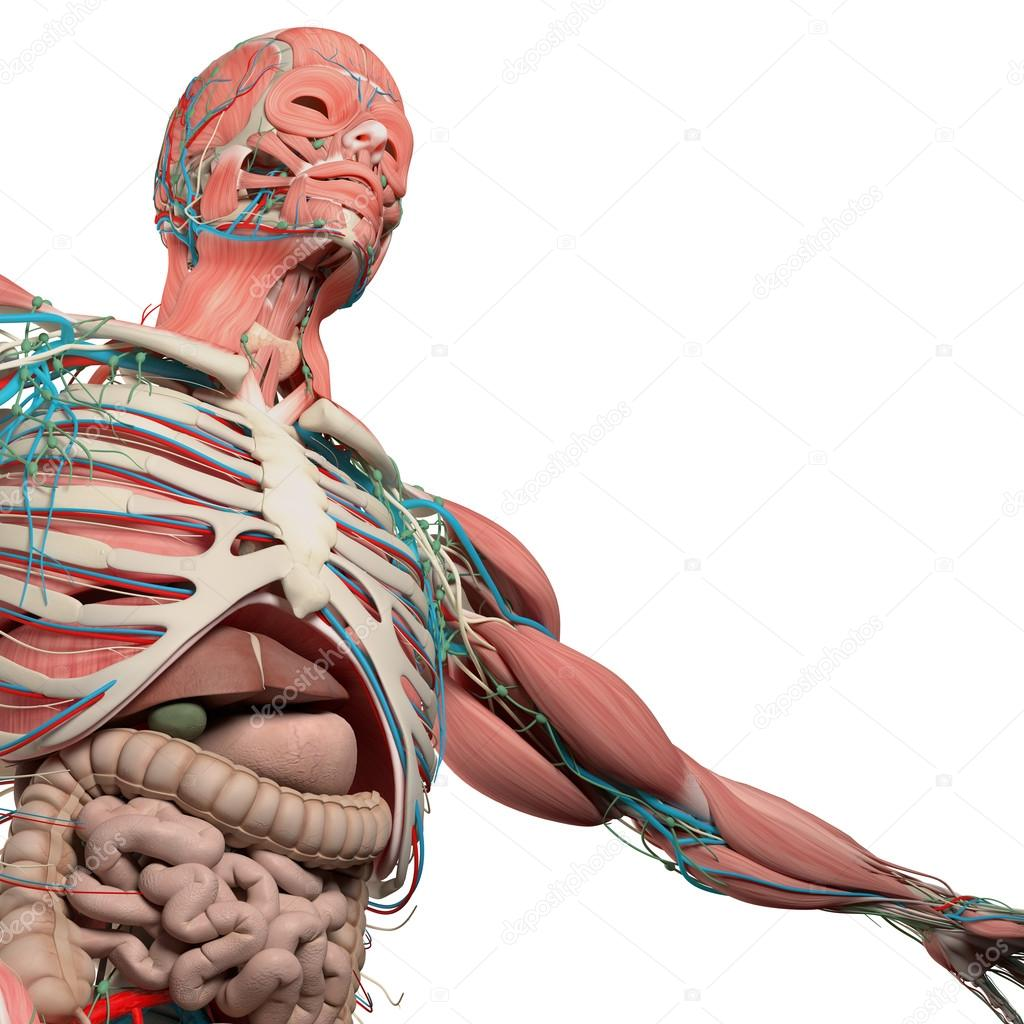 Human Anatomy Chest From Low Angle Bone Structure Veins Muscle